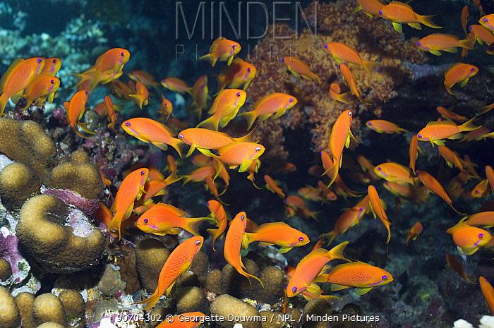 Lyretail anthias or Goldies (Pseudanthias squamipinnis) females. Egypt, Red Sea.