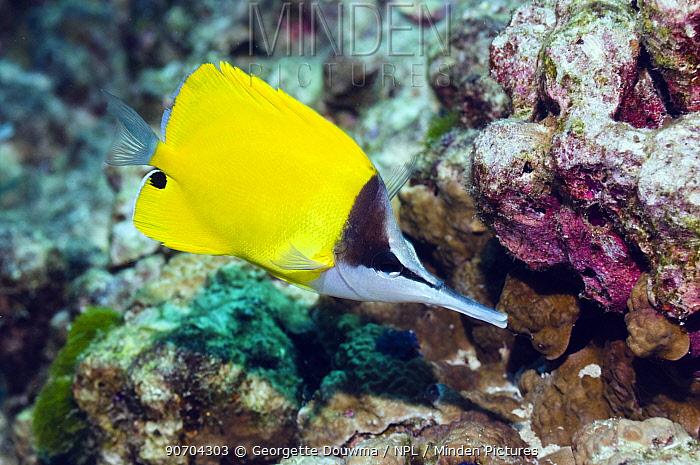Longnose butterflyfish (Forcipiger longirostris). Andaman Sea, Thailand.