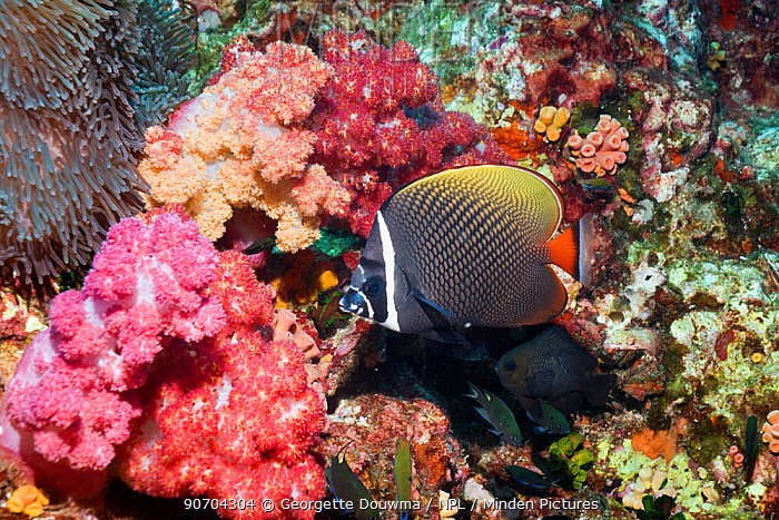 Redtail or Collared butterflyfish (Chaetodon collare) Andaman Sea, Thailand.