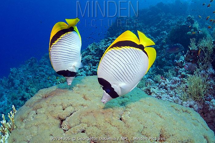 Lined butterflyfish (Chaetodon lineolatus), pair feeding on Bubble coral (Plerogyra sinuosa). Egypt, Red Sea.