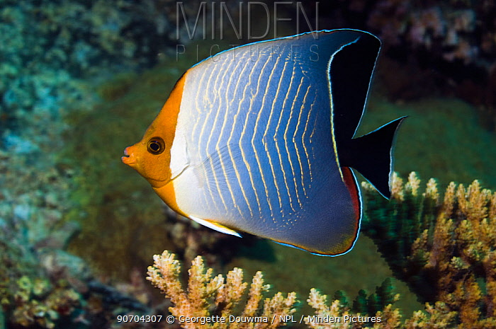 Red Sea orange face butterflyfish or Hooded butterflyfish (Chaetodon larvatus). Egypt, Red Sea.