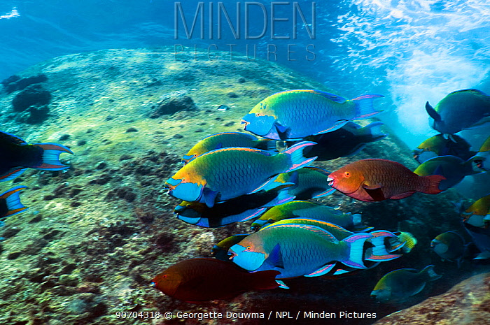 Greenthroat or Singapore parrotfish (Scarus prasiognathus), large school of terminal males and some females swimming over large boulders in shallow water. Andaman Sea, Thailand.