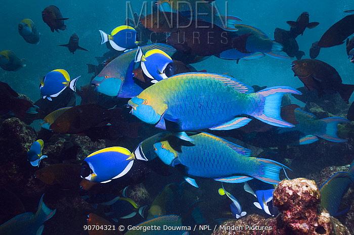 Greenthroat or Singapore parrotfish (Scarus prasiognathus), large school of terminal males swimming. Andaman Sea, Thailand.