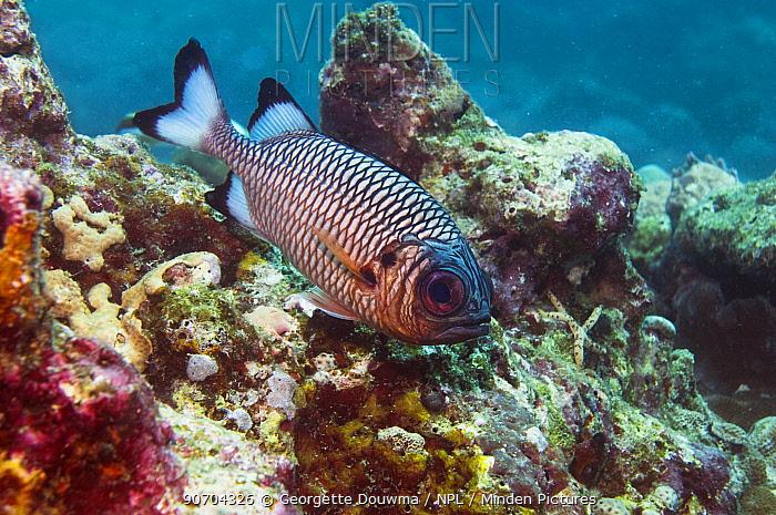 Shadowfin soldierfish (Myripristis adusta). Maldives.