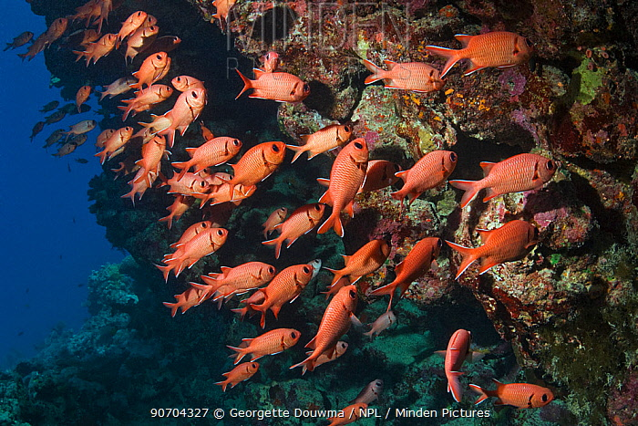 Red Soldierfish (Myripristis murdjan) sheltering on coral wall. Egypt, Red Sea.