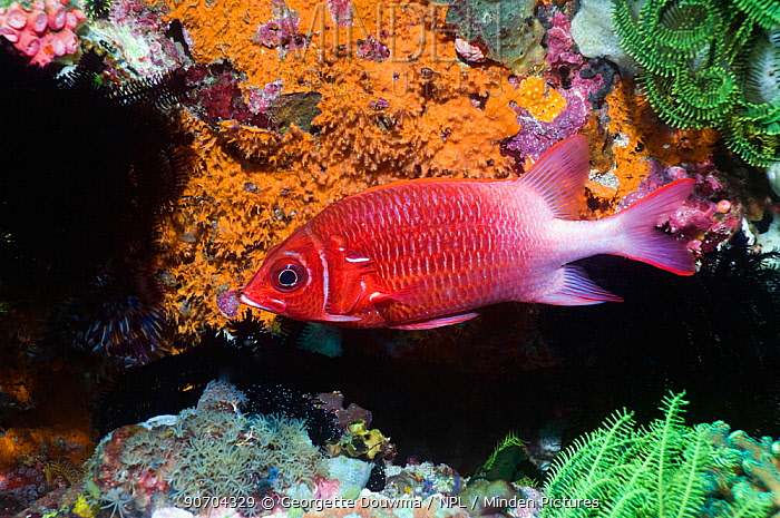 Whitetail squirrelfish (Sargocentron caudimaculatum). Rinca, Komodo National Park, Indonesia.