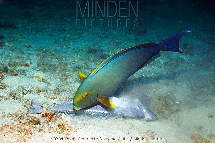 Yellowfin surgeonfish (Acanthurus xanthopterus) feeding on a dead surgeonfish. Many fish observed dead or dying on reefs in the Maldives, April 2012. Another episode of dying fish occured in 2007. Cause unknown. Maldives.