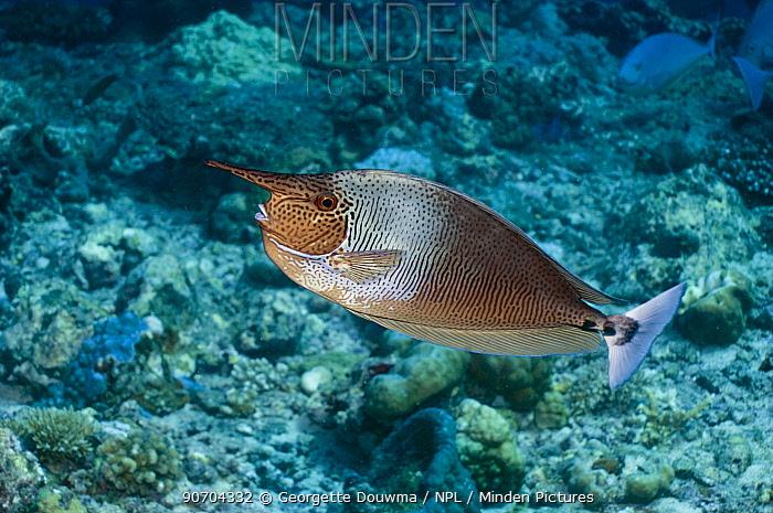 Spotted unicornfish (Naso brevirostris). Maldives.