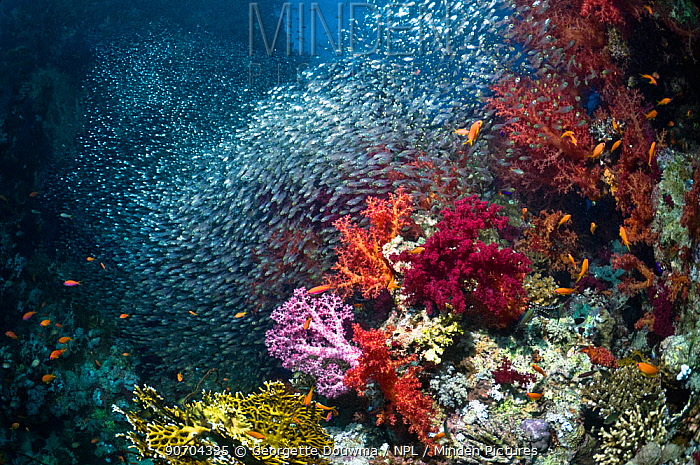 Coral reef scenery with soft corals (Dendronephthya sp) and dense shoal of Pygmy sweepers (Parapriacanthus guentheri). Egypt, Red Sea.