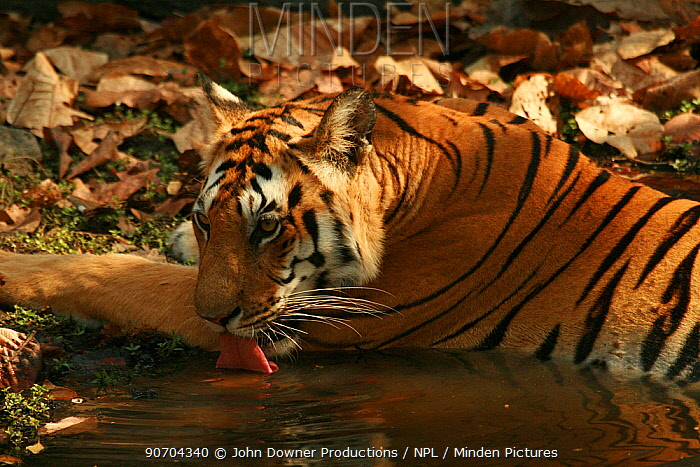 Bengal Tiger (Panthera tigris tigris) juvenile female drinking while resting in pool, Pench National Park, Madhya Pradesh, India, taken on location for 'Tiger - Spy in the Jungle' March 2007
