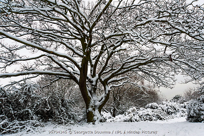 Oak tree (Quercus robur) covered in snow, Epping Forest, London, UK, January.