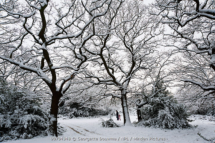 Oak tree (Quercus robur) covered in snow with parent and child walking in the distance, Epping Forest, London, UK, January.