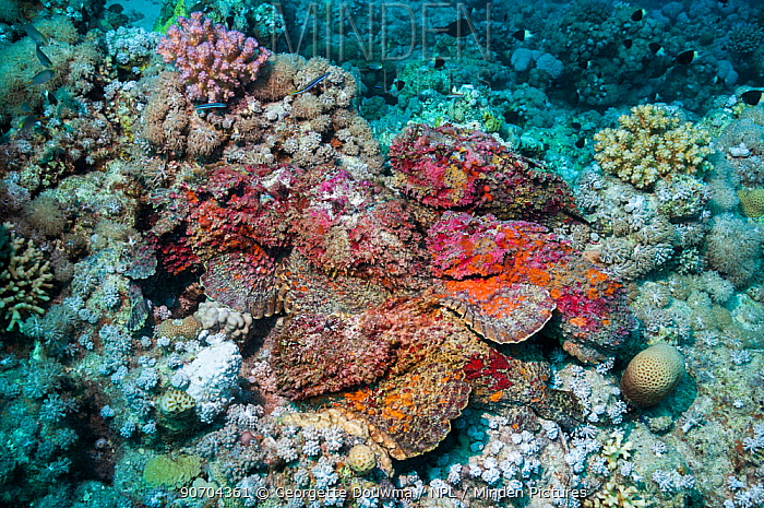 A group of six Reef stonefish (Synanceia verrucosa) in a mating congregation, the males jostling for position and swimming over the females.  The female stonefish releases its eggs on the bottom of the sea floor, the male stonefish comes and fertilizes the eggs by releasing the sperm over them.  These individuals, having just shed their cuticles, are vivid pinks, purples and reds, resembling a coralline algae encrusted rock.  It is one of the most venomous fish currently known in the world.  Egypt, Red Sea.