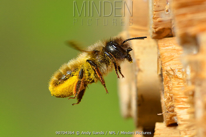 Female red mason bee (Osmia rufa) carrying pollen on its abdominal scopa (pollen carrying hairs) to a nest cell in an insect box, Hertfordshire, England, June.