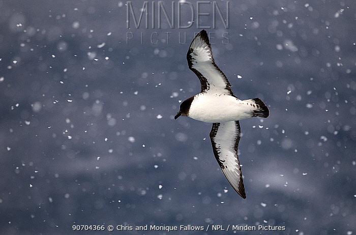 Pintado petrel (Daption capense) flying in snow, Southern Ocean.  -  Chris and Monique Fallows