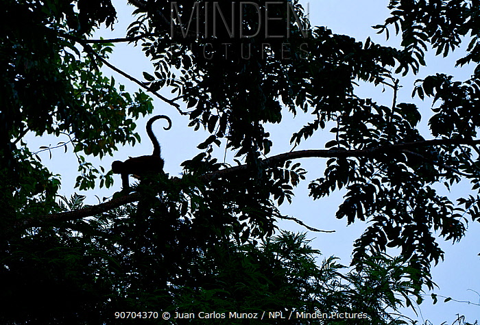 Geoffroy's spider monkey (Ateles geoffroy) silhouetted in a tree, Tortuguero National Park, Costa Rica.