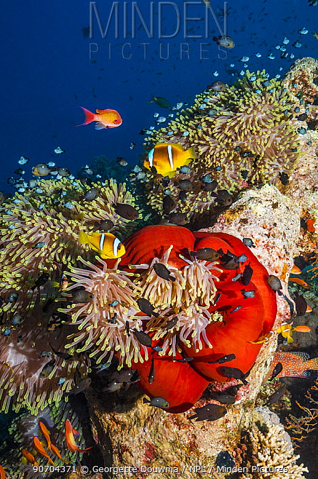 Red Sea anemonefish (Amphiprion bicinctus) with Magnificent anemone (Heteractis manifica) Egypt, Red Sea.