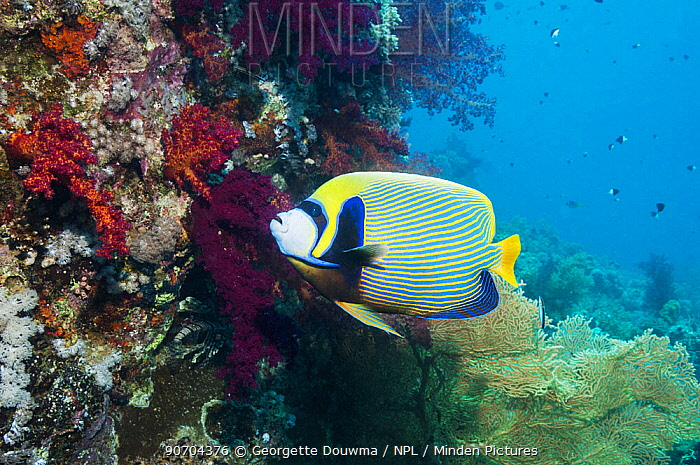Emperor angelfish (Pomacanthus imperator) swimming past coral reef. Egypt, Red Sea.