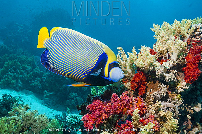 Emperor angelfish (Pomacanthus imperator) feeding on soft coral. Egypt, Red Sea.