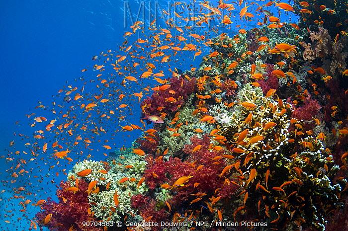 Lyretail anthias / Goldies (Pseudanthias squamipinnis) on reef top. Egypt, Red Sea.