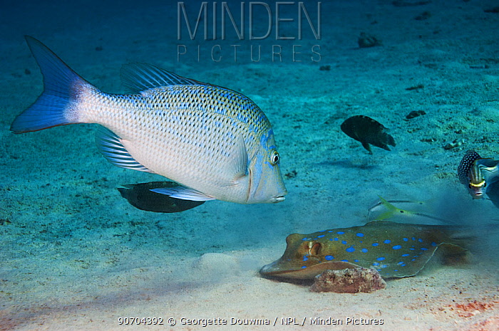 Spangled emperor (Lethrinus nebulosus) watching a Blue spotted ribbontail ray (Taeniura lymna) that is burrowing in the sandy bottom for prey. Egypt, Red Sea.