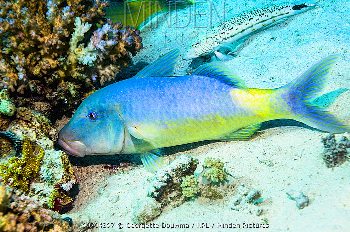 Yellowsaddle goatfish (Parupeneus cyclostomus) hunting small prey in coral branches. Egypt, Red Sea.