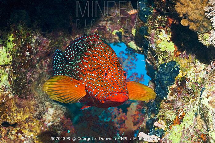 Coral hind (Cephalopholis miniata) under coral overhang. Egypt,  Red Sea.