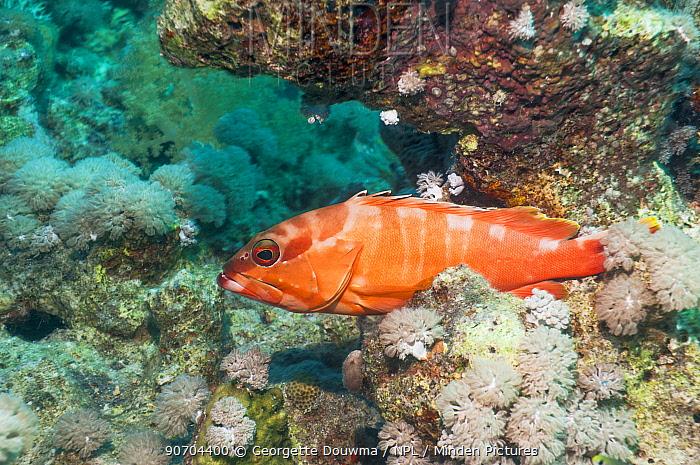 Blacktip grouper (Epinephelus fasciatus) Egypt,  Red Sea.