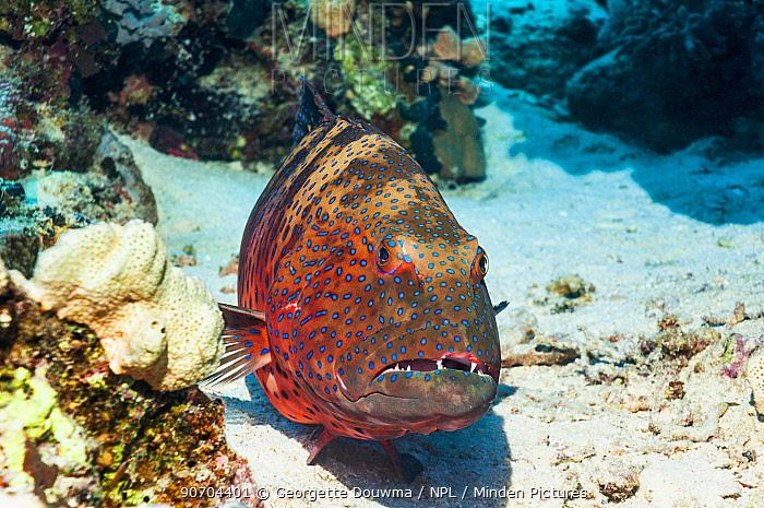 Red Sea Coral Grouper (Plectropomus pessuliferus marisrubri) Egypt, Red Sea.