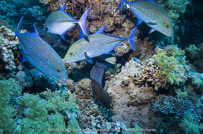 Bluefin jacks (Caranx sexfasciatus) following a hunting moray eel. Egypt, Red Sea.