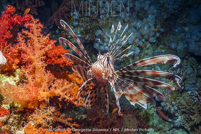 Common lionfish / Devil firefish (Pterois miles) Egypt, Red Sea, endemic species.