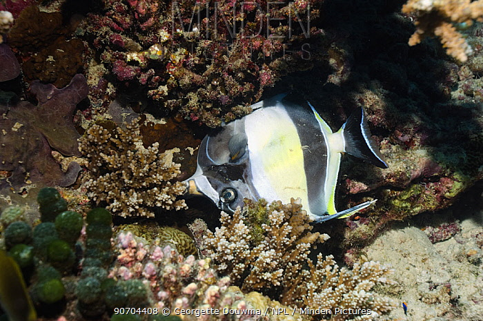 A dead Moorish Idol, (Zanclus cornutus) lying on coral reef, part of mass die off in the Maldives, cause unknown, Maldives.