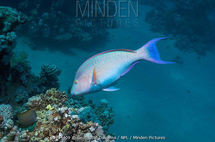 Longnose parrotfish (Hipposcarus harid) Egypt,  Red Sea.