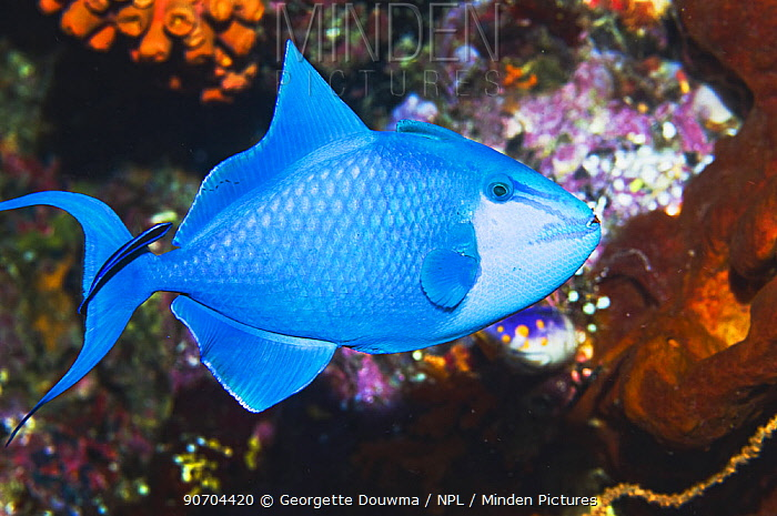 Red-mouth triggerfish (Odonus niger) with Bluestreak cleaner wrasse (Labroides dimidiatus) Raja Ampat, West Papua, Indonesia.