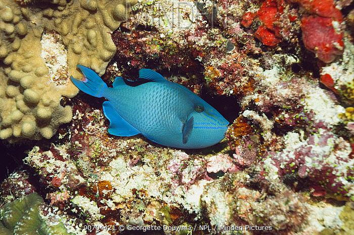 Redtooth triggerfish (Odonus niger) Maldives.