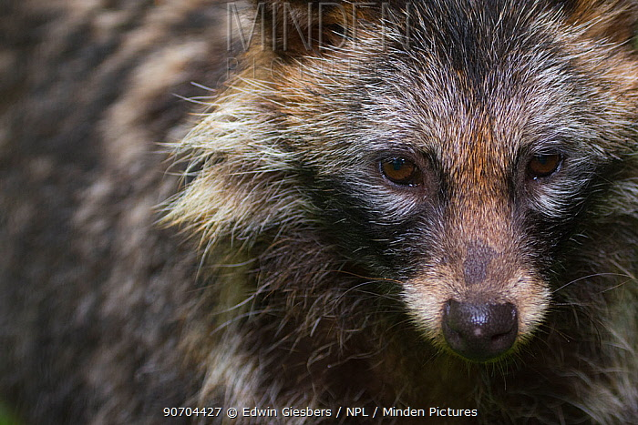 Raccoon dog (Nyctereutes procyonoides) portrait, captive, occurs in East Asia