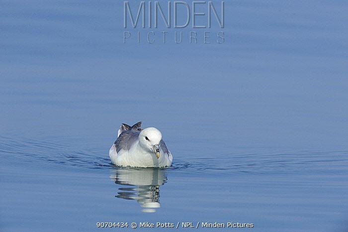 Fulmar (Fulmarus glacialis) looking for food items on sea surface...Off Llyn Peninsula, North Wales, UK.