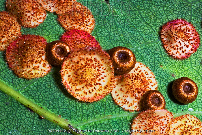 Silk button spangle galls caused by the Gall wasp (Neuroterus numisalis) and Common spangle galls caused by another gall wasp (Neuroterus quercusbaccarumon) on the underside of an English oak leaf (Quercus robur)  UK.