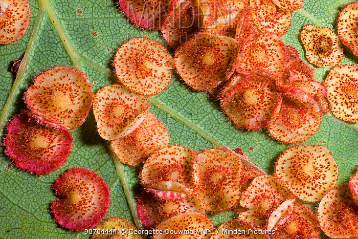 Close up of Common spangle galls caused by the gall wasp (Neuroterus quercusbaccarum) on the underside of an English oak (Quercus robur) leaf. UK.