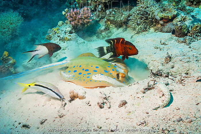 Bluespotted ribbontail ray (Taeniura lymna) digging in the sandy bottom for molluscs or worms, with a Red banded wrasse (Cheilinus fasciatus), a Dash-and-dot goatfish (Parupeneus barberinus), a Lyretail hogfish (Bodianus anthioides) and a Speckled sandperch (Parapercis hexophtalma) Egypt, Red Sea.