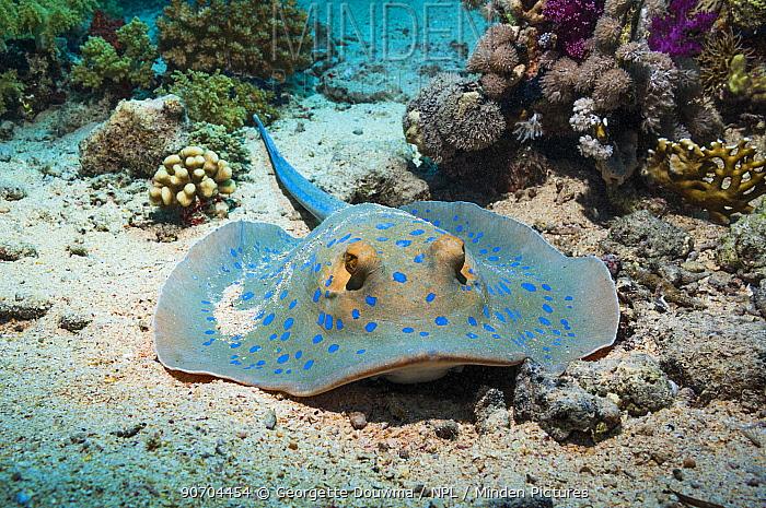 Bluespotted ribbontail ray (Taeniura lymna) Egypt, Red Sea.