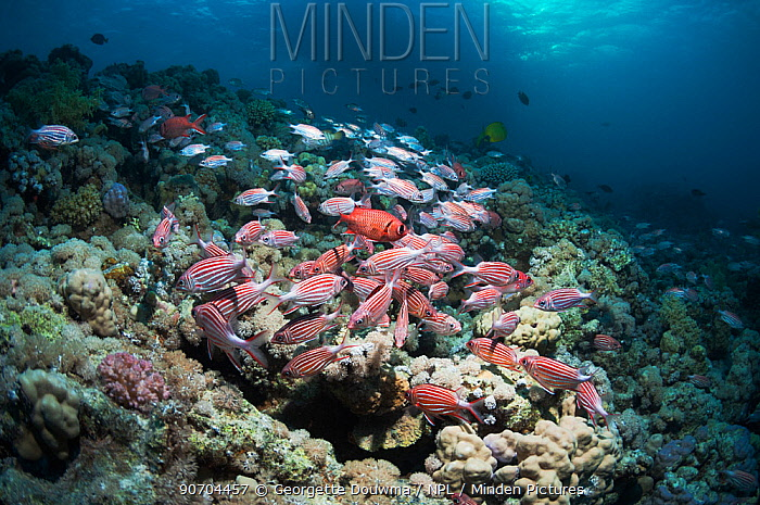 Coral reef with a school of Crown squirrelfish (Sargocentron diadema), a few White-edged-soldierfish (Myripristis murdjan) and a boat in background. Egypt, Red Sea.