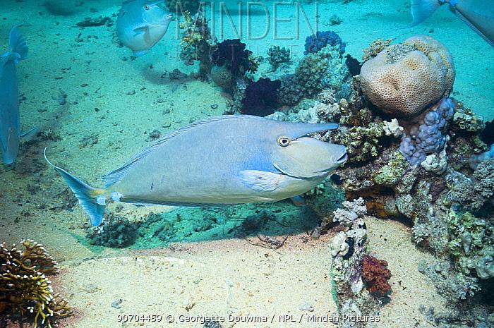 Surgeonfish (Naso sp) Egypt, Red Sea.