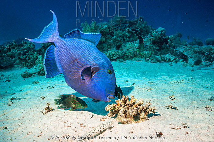 Blue triggerfish (Pseudobalistes fuscus) grubbing for food with Abudjubbe splendor wrasse (Cheilinus abudjubbe), (a Red Sea endemic), and a Speckled sandperch (Parapercis hexophtalma) keeping a close watch for any escaping prey.  Egypt, Red Sea.