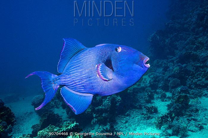Blue triggerfish (Pseudobalistes fuscus)  Egypt, Red Sea.