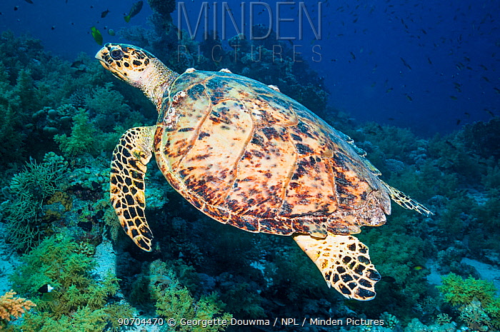 Hawksbill turtle (Eremochelys imbricata)  Egypt, Red Sea.