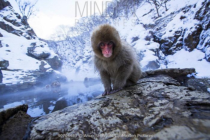 Japanese Macaque (Macaca fuscata) baby sitting on the edge of thermal hotspring pool. Jigokudani Yean-Koen National Park, Japan, February.