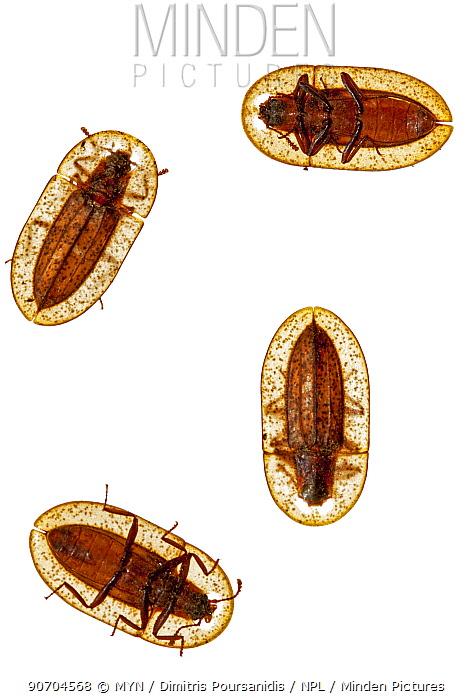 Darkling beetles (Cossyphus tauricus) Crete, Greece. meetyourneighbours.net project
