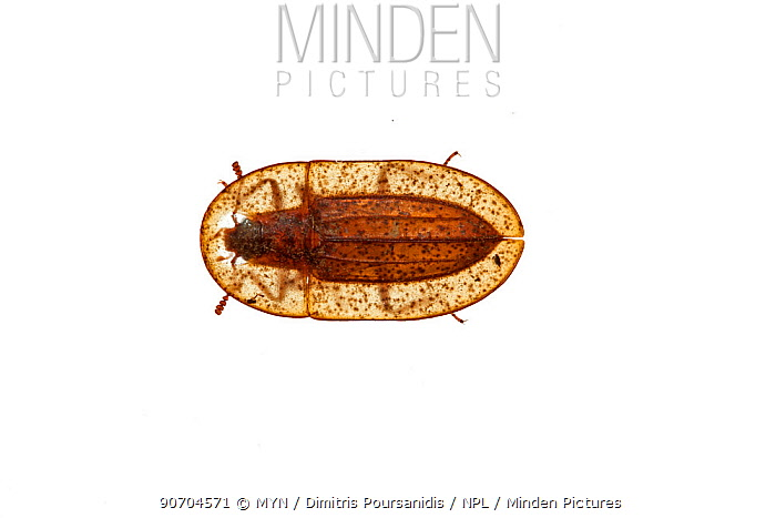 Darkling beetle (Cossyphus tauricus) Crete, Greece. meetyourneighbours.net project