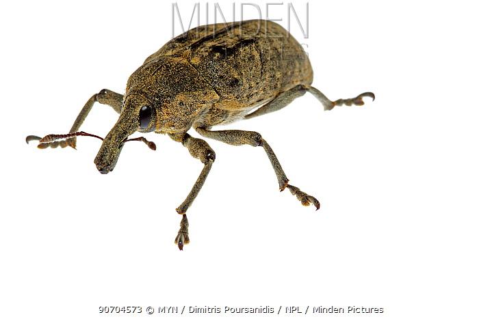 Weevil (Larinus sp) Crete, Greece. meetyourneighbours.net project
